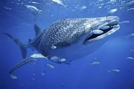 Whale Shark Adventure Swim, Adult